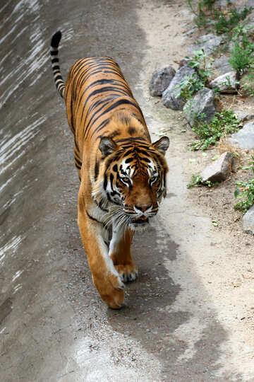 Tiger walks №45625