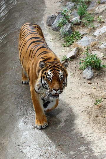 Tiger walks №45626