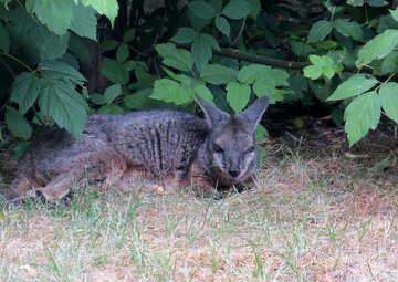 Kangaroo on the grass №45111