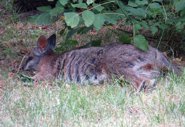 Kangaroo on the grass №45112