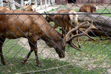 Deer №45917