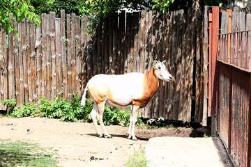 Wild cow №45857