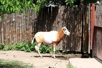 Wild cow №45860