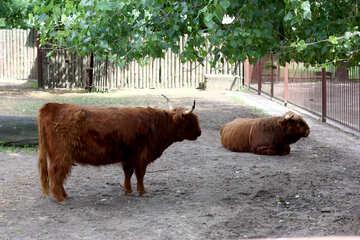 Wild cow №45873