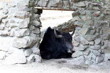 Wild cow №45893
