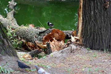Crow on fallen tree №45945