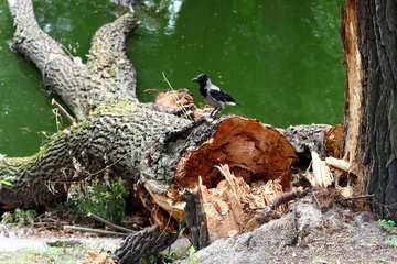 Crow on fallen tree №45946