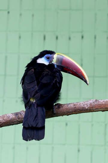 Bird toucan №45981