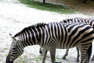 Zebras №45856