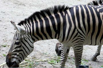Zebra muso №45854