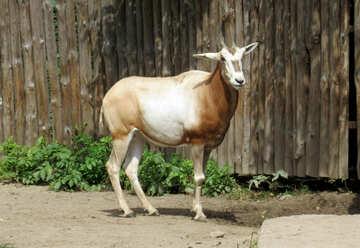 Exotic cow №45144