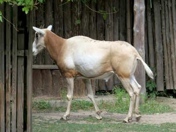 Exotic cow №45147