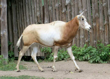 Exotic cow №45148