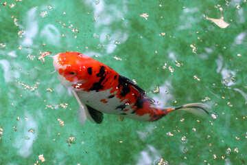 Decorative koi carp fish №45816