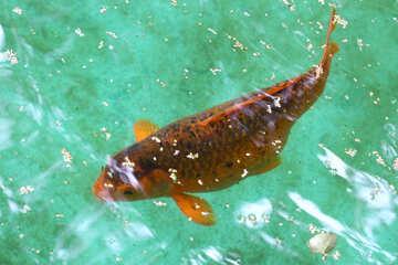 Decorative koi carp fish №45820