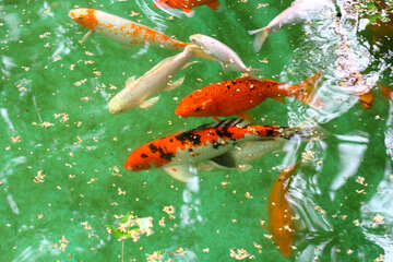 Red fish in the pond №45800