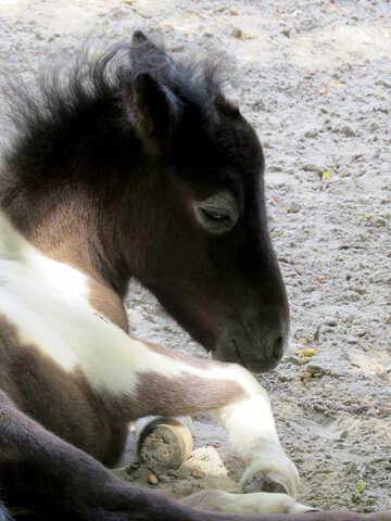 piccolo cavallo №45143