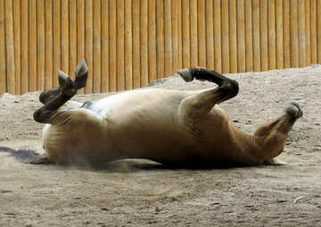 Wild horse lying in the sand №45284