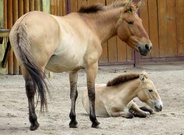 Przewalski`s horse №45297