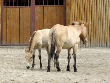 Przewalski`s horse №45308