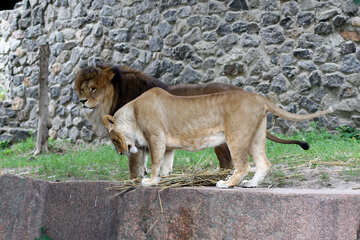 Lions Family №45477