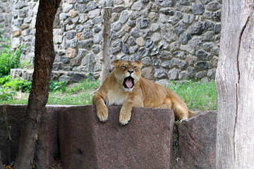 Lion`s Mouth №45451