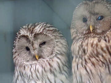 Two owls №45217