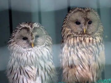 Two owls №45219