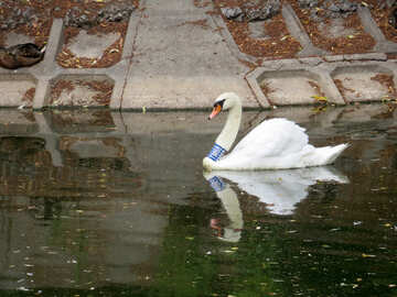 Swan with ring №45227