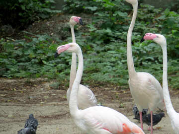 Flamingos at the zoo №45318