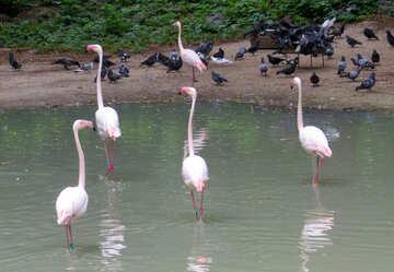 Pink flamingos №45326