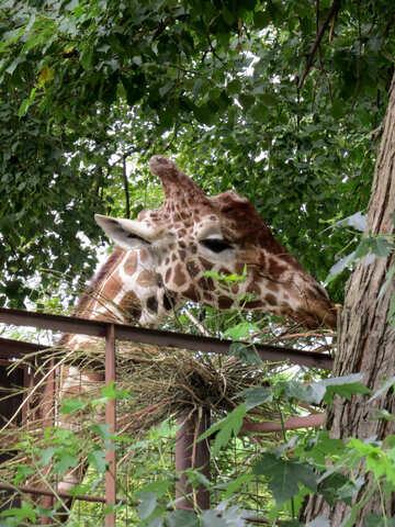 Muso di una giraffa №45040