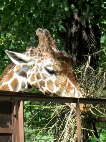 Muso di una giraffa №45044