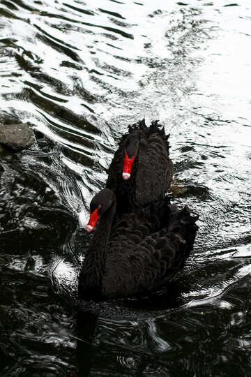 Black swan on the water №45963