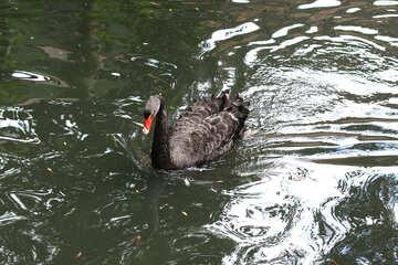 Black swan on the water №45972