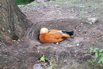 Ogar orange red duck №45956