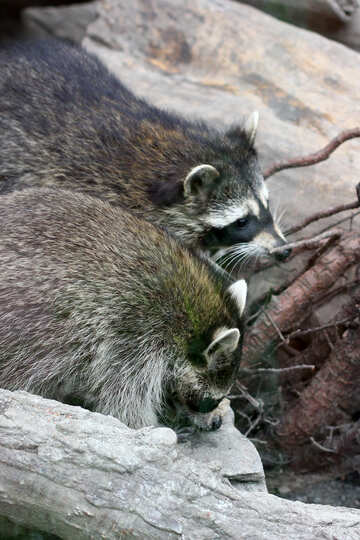 Raccoons №45381