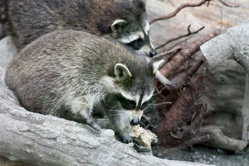 Raccoons №45382