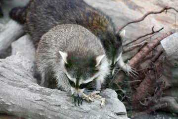 Raccoons №45383
