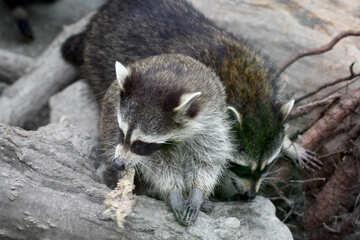 Raccoons №45384