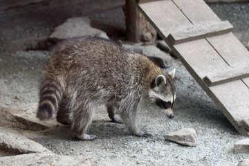 Raccoons №45393