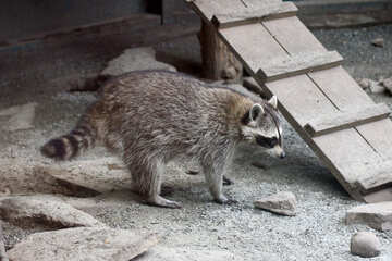 Raccoons №45394