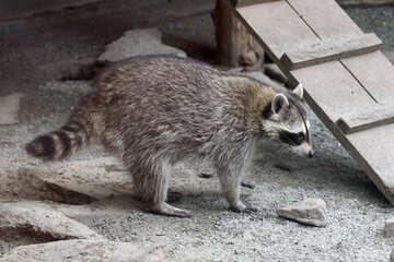 Raccoons №45395