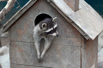 House for raccoons №45402
