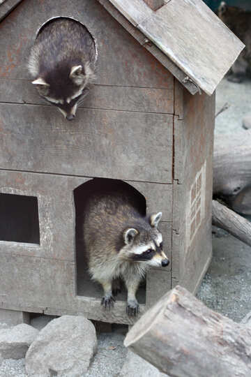 House for raccoons №45410