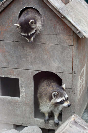 House for raccoons №45411