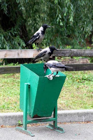 Ravens in the trash №45970