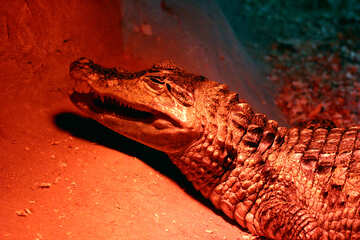 Red crocodile №45791