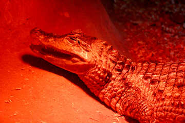 Red crocodile №45793