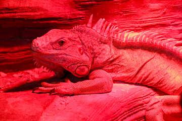 Red iguana №45798